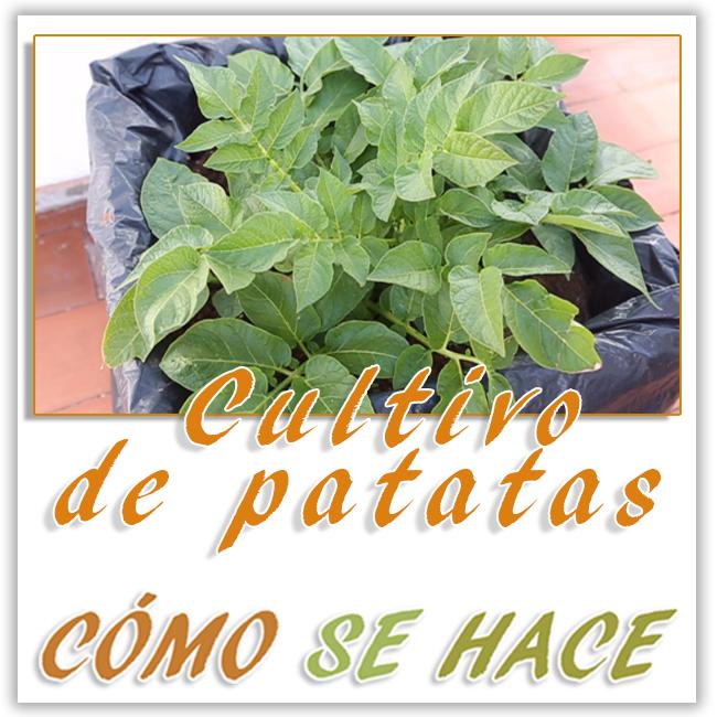 Cultivo de patatas en maceto huerto