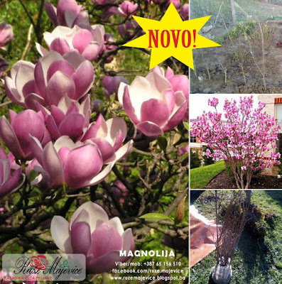 Magnlija, cvijet i stablo, sadnice