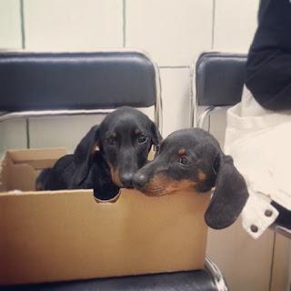 štenci canine distemper štenećak