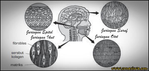 Jaringan pada Hewan, Jaringan Epitel, Jaringan Konektif, Jaringan Otot, Jaringan Syaraf, Jaringan Epitel Pipih, Jaringan Epitel Batang, Jaringan Epitel Kubus, Jaringan Pengikat, Jaringan Pengikat Longgar, Jaringan Pengikat Padat, Jaringan Pengikat Tulang Rawan, Jaringan Pengikat Tulang Sejati, Jaringan Darah, Jaringan Otot Lurik, Jaringan Otot Polos, Jaringan Otot Jantung, Jaringan Syaraf Sensorik, Jaringan Syaraf  Motorik, Jaringan Syaraf Konektor,