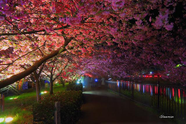伊豆・河津櫻祭,夜櫻