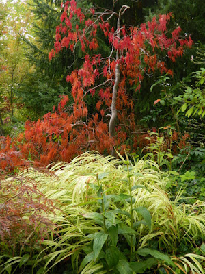 Autumn cutleaf Japanese maple and Hakone Japanese Forest Grass at the Toronto Botanical Garden by garden muses-not another Toronto gardening blog
