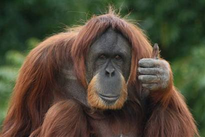 "Orangutan gives idea the ""thumbs up"""