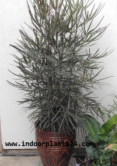Dizygotheca Elegantissima