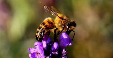 5. Africanized Bee