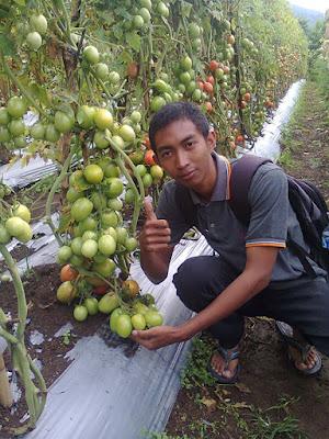 Tomat-Natama-super-F1-di-Bedugul-Bali