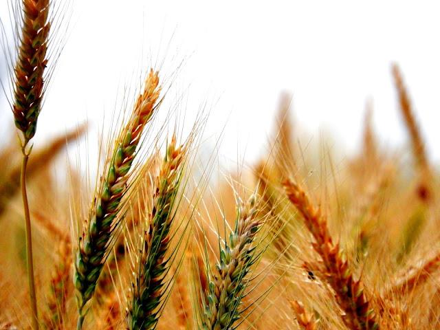 Of wheat and fields of wheat | Amritsar, Punjab (April 2016)