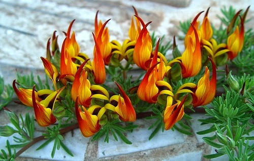 Lotus berthelotii - Paruh Kakatua