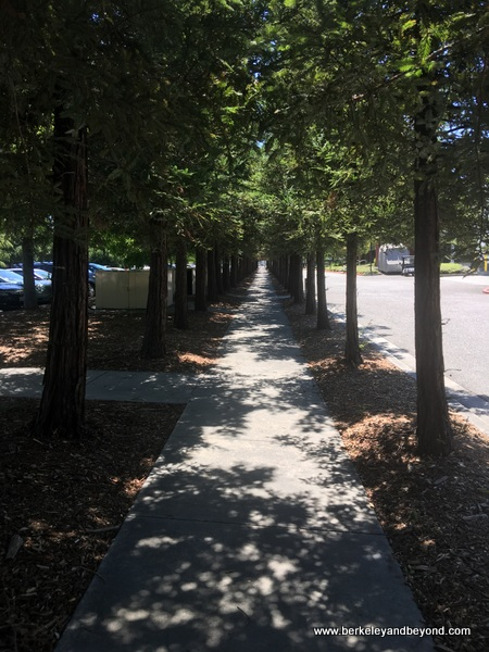 coast redwoods line sidewalk behind Computer History Museum in Mountain View, California