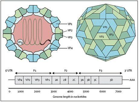 Virus tay chân miệng
