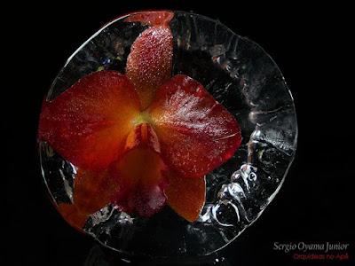 Orquídea Potinara no gelo