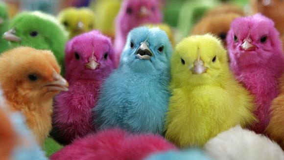 Bunlari Biliyor Muydunuz Civcivler Nasil Renklendirilir