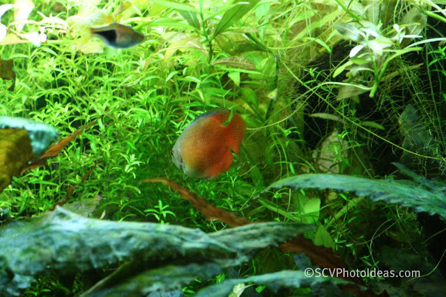 Red Dwarf Gourami (Trichogaster lalius / Colisa lalia) male