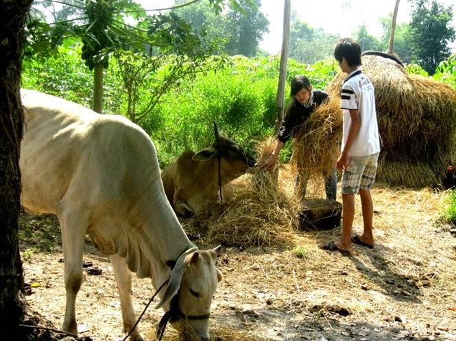 phòng bệnh cho bò