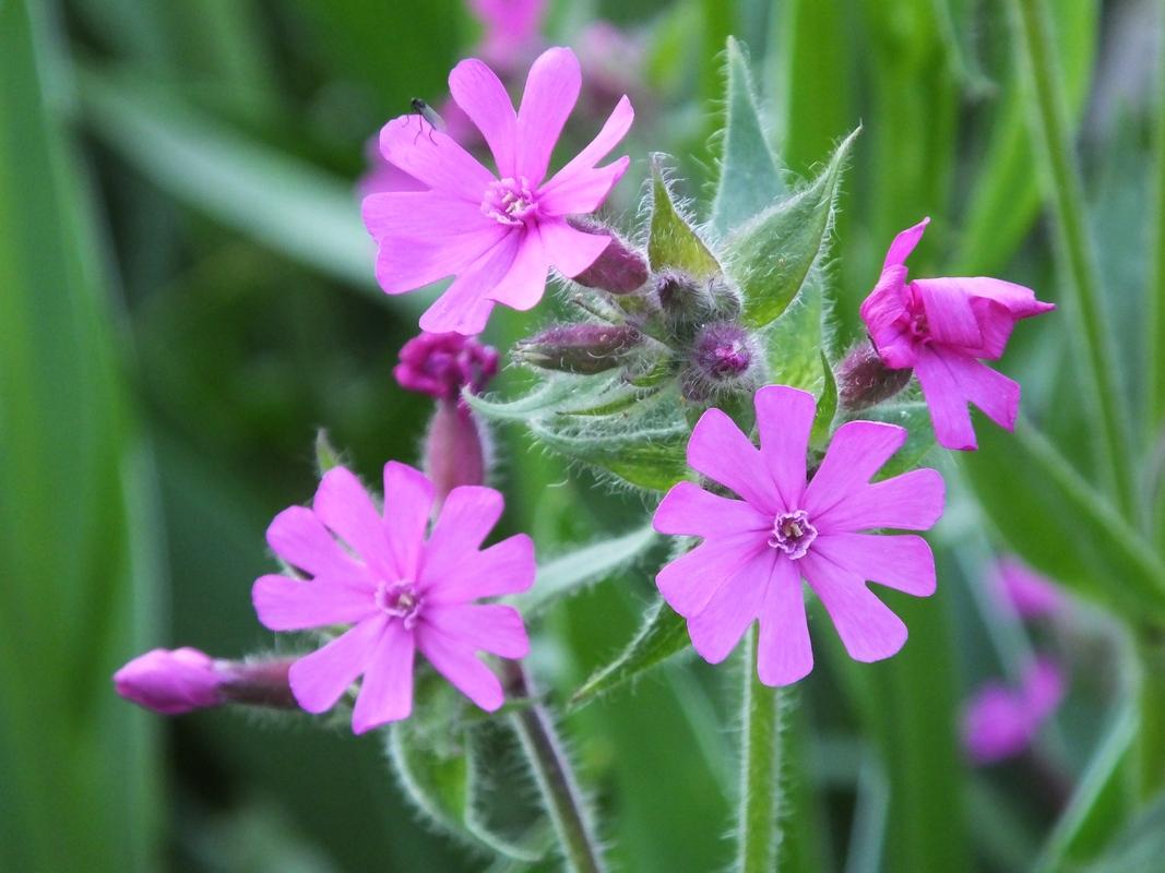 Violetti Luonnonkukka