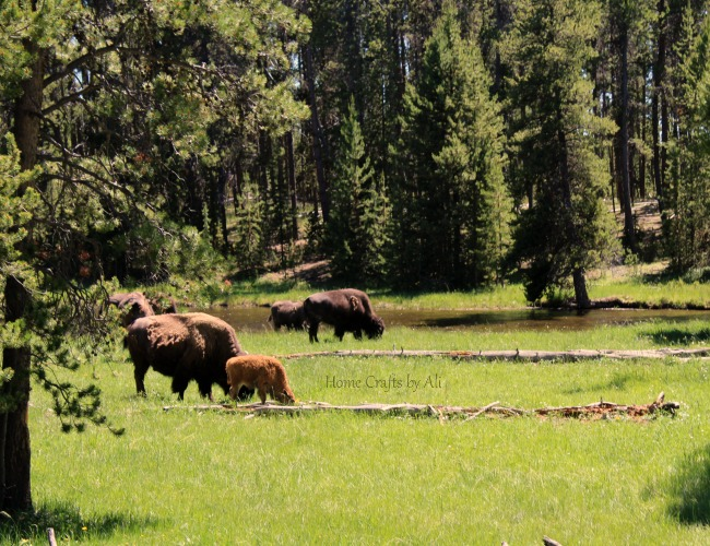 yellowstone national park bison buffalo calf family