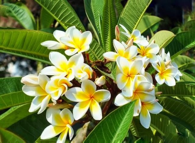 Obat Tradisional Bunga Kamboja Untuk Penderita Stroke