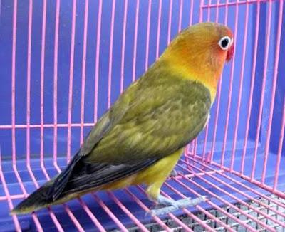 Lovebird Spangle