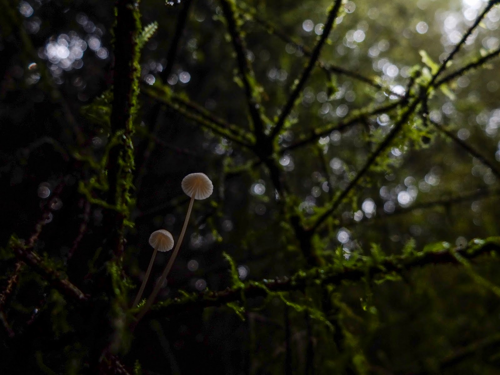 Tiny white mushrooms growing on mossy tree branches inside a forest and towards the light.