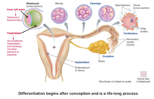 tramadol in early stages of pregnancy