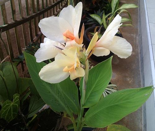 Bunga Kana (Tanaman Hias Dan Obat