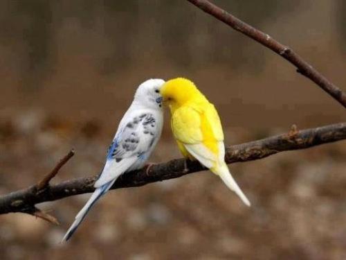 Cách phân biệt chim Yến Phụng trống mái