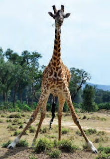 the regal giraffe - kenya