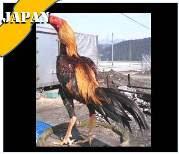 ayam siam jepang