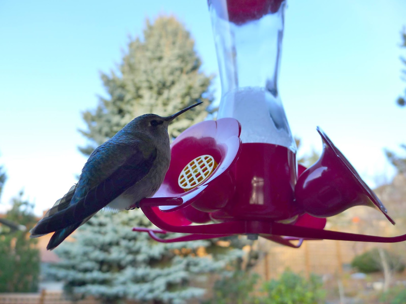 good life northwest hummingbirds at home through a northwest winter