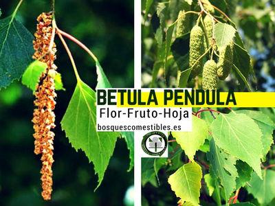 Betula pendula, Abedul común, imagen de la flor, fruto y hoja