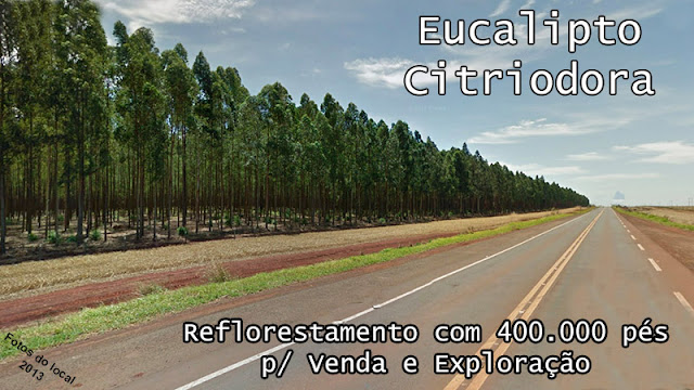 400.000 árvores Eucalipto Citriodora