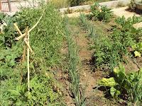 huerto escolar, tomates, cebollas y calabacines