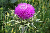 milk thistle for gynecomastia