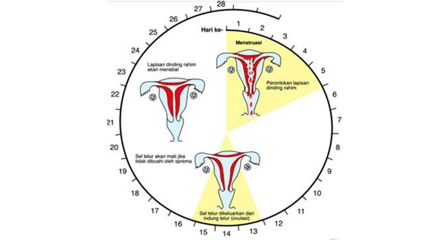 Siklus Menstruasi pada wanita