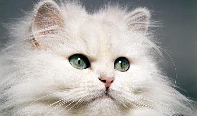 Unduh 94+  Gambar Kucing Persia Rumahan Paling Imut HD