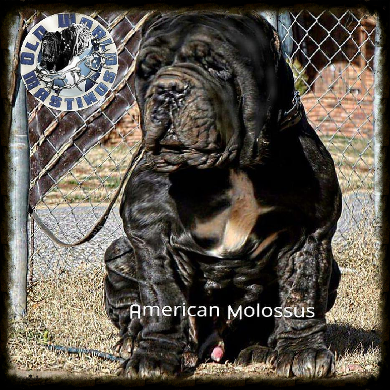 Pedigree Dogs Exposed - The Blog: The American Molossus