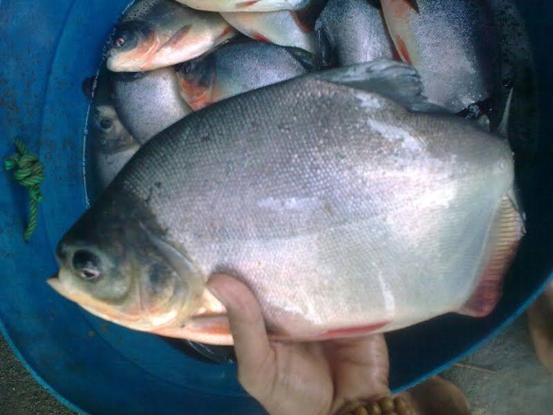 jenis ikan hias air laut ikan bawal