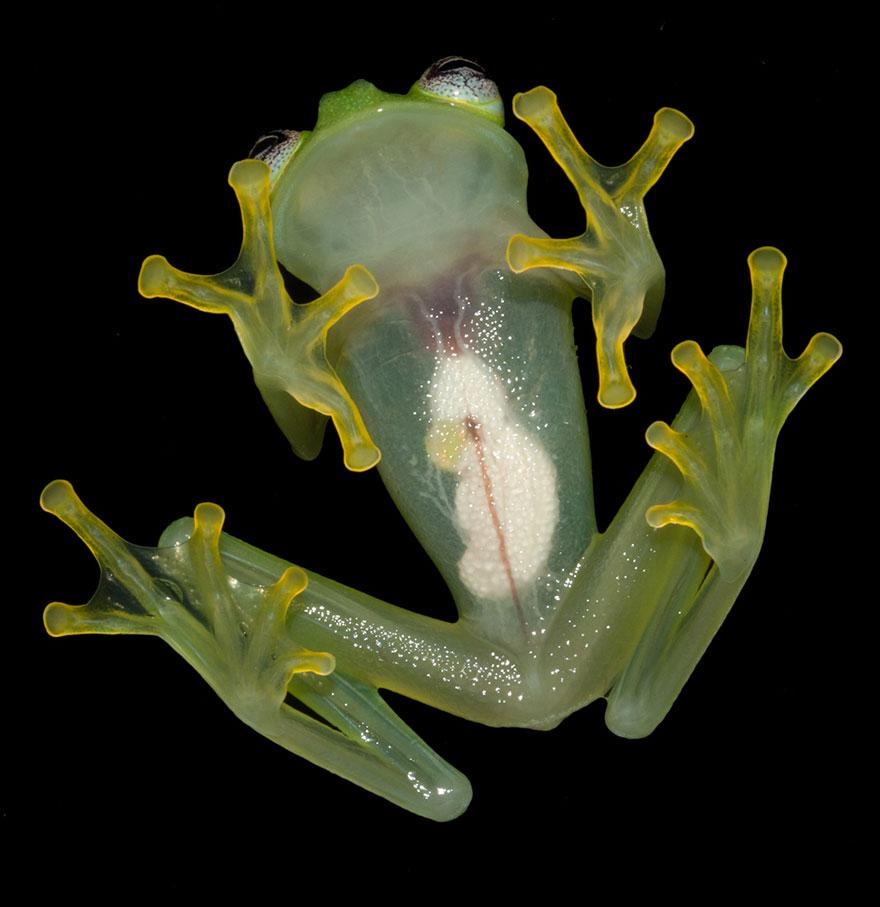 kermit-frog-lookalike-discovered-diane-bare-hearted-glassfrog-hyalinobatrachium-dianae-costa-rica-2