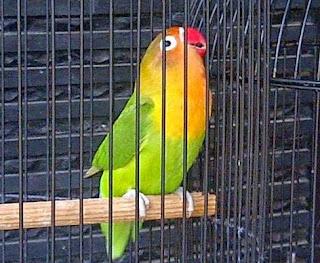 Kisaran Harga Pakan Burung Lovebird Agar Ngekek Panjang saat Ini Terlengkap