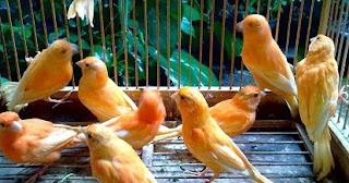 makanan-biar-gacor-keras,-makanan-burung,-Pakan-Kenari,-racikan-pakan-kenari-biar-gacor,-suara-burung-kenari-gacor,-supaya-kenari-gacor-panjang,-