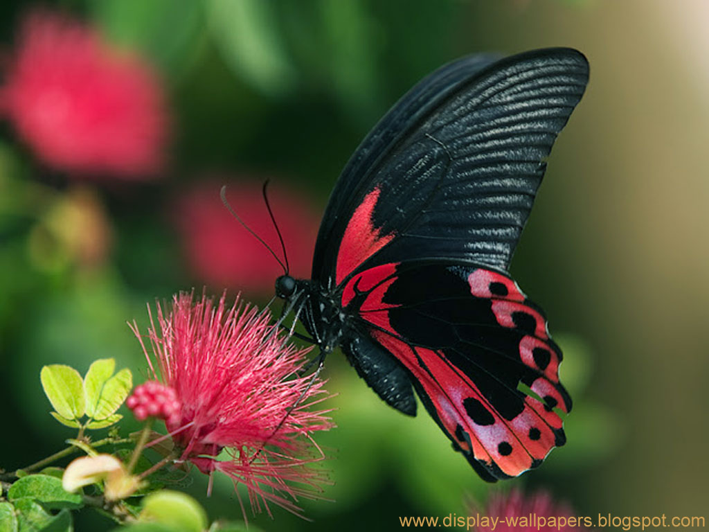 Butterflies Wallpapers Hd Download: Wallpapers Download: Butterfly Desktop Wallpaper HD