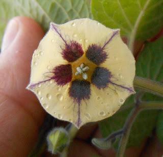flor de la planta capullina