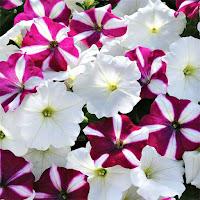 Karışık petunya çiçekleri