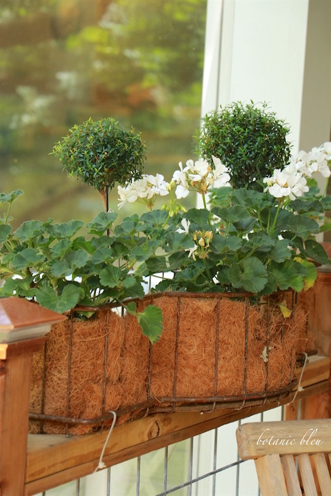 white-geraniums-myrtle-topiary-wire-window-box