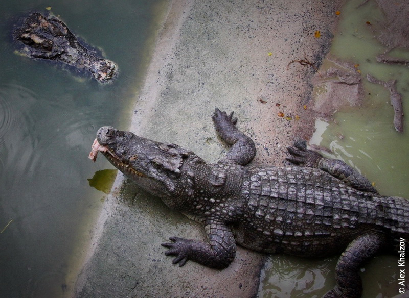 крокодил ест курицу
