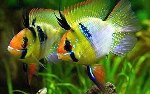 cá phượng hoàng đem lại màu sắc lung linh cho hồ thủy sinh của bạn