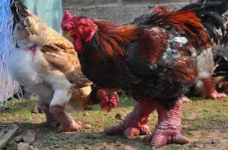 Ayam Kaki Naga