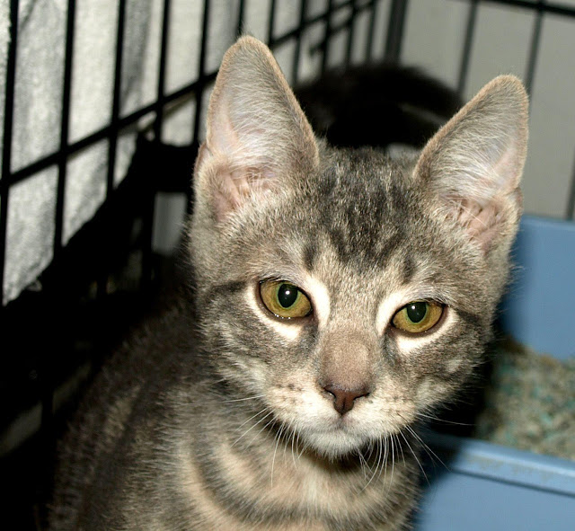 adopt a cat month|cat in shelter