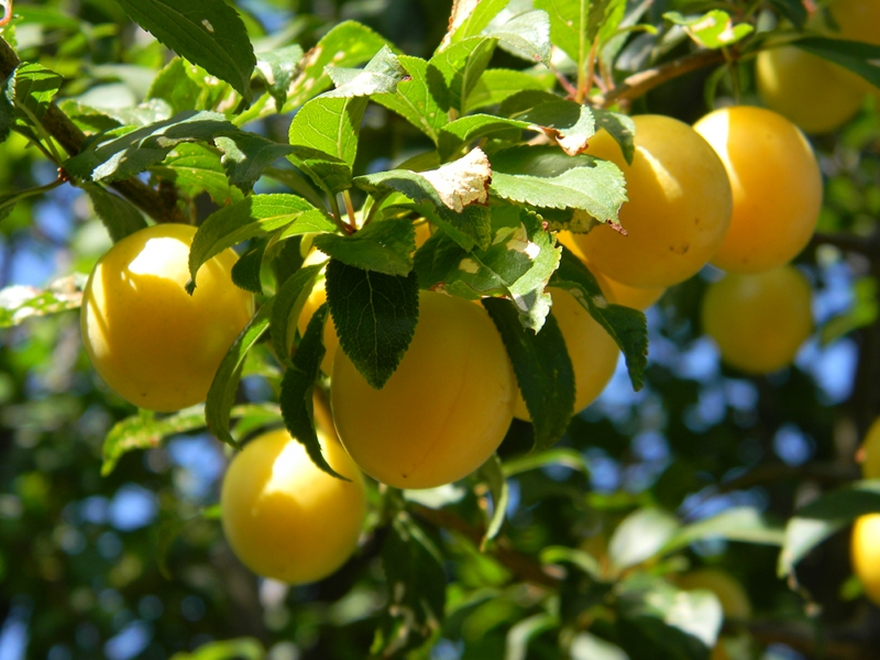 California Wallpaper Iphone 7 Gallery Yellow Plum Fruit