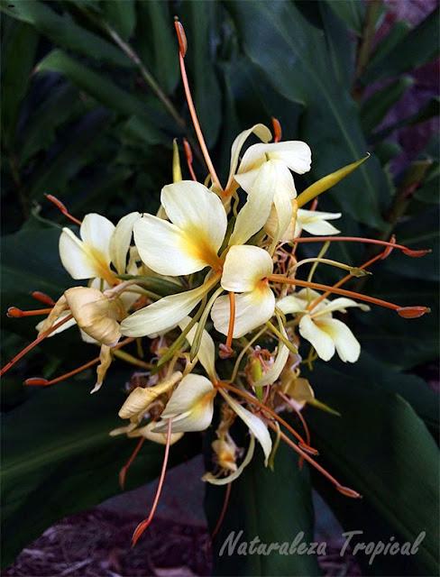 Variedad amarilla de la flor mariposa, Hedychium coronarium